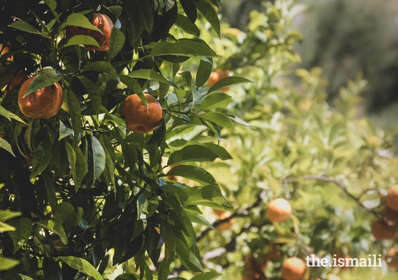Mandarins grow in the Ismaili Centre's Garden of Fruits, which also includes other species, along with their rich colours and scents.