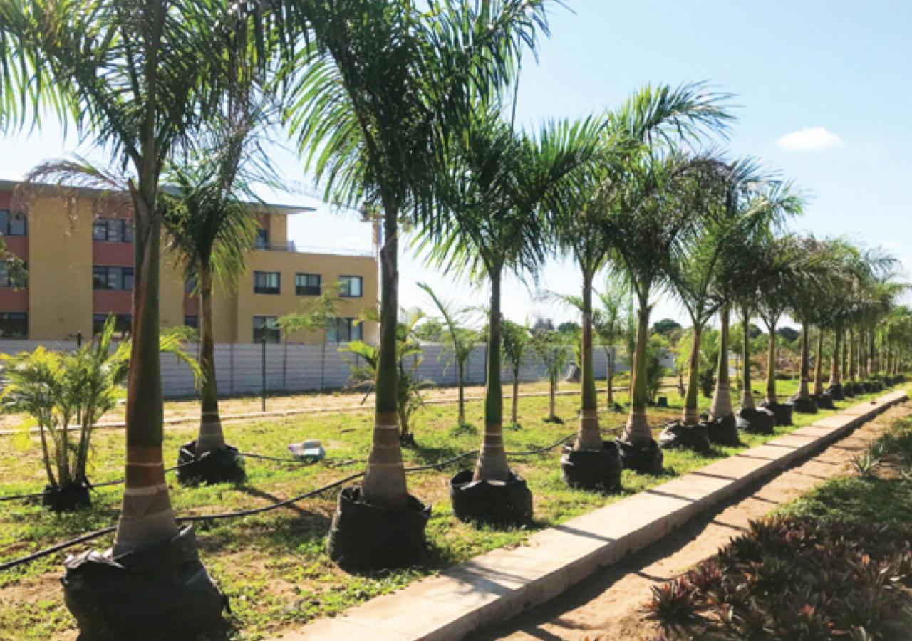 Flora - Royal Palm Trees