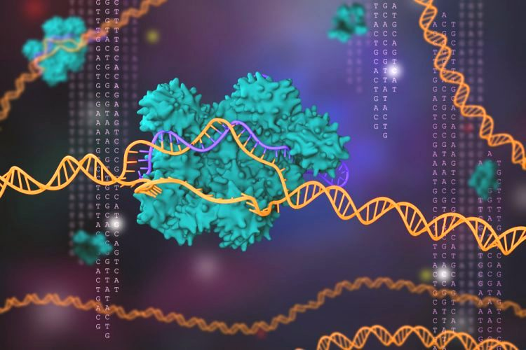 The CRISPR technique enables researchers to edit DNA sequences and alter gene function.