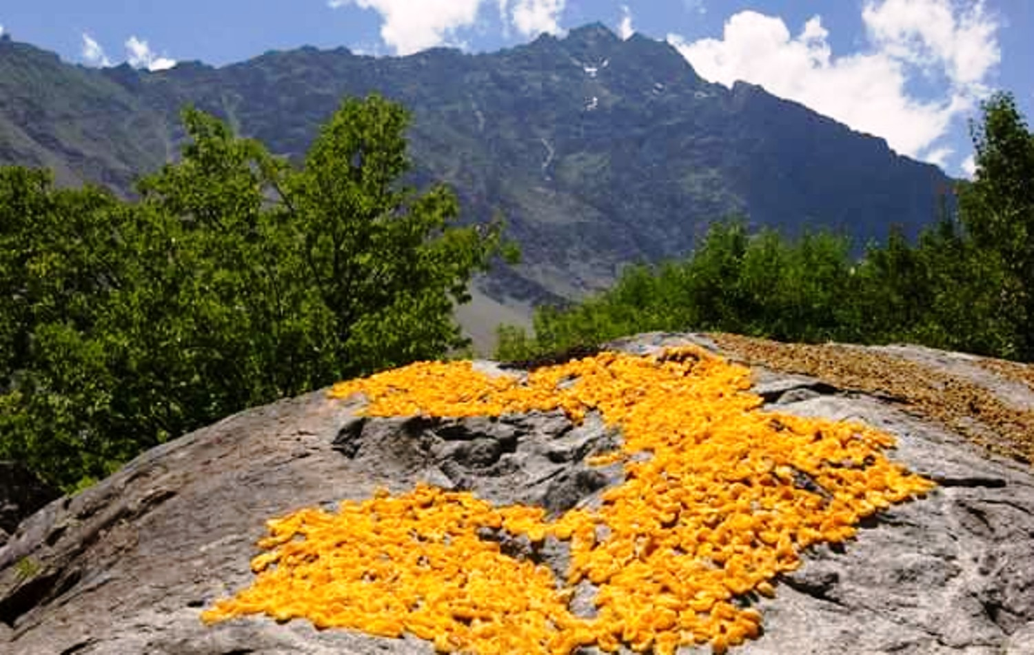Given their abundance, apricots are a common sight across Hunza.