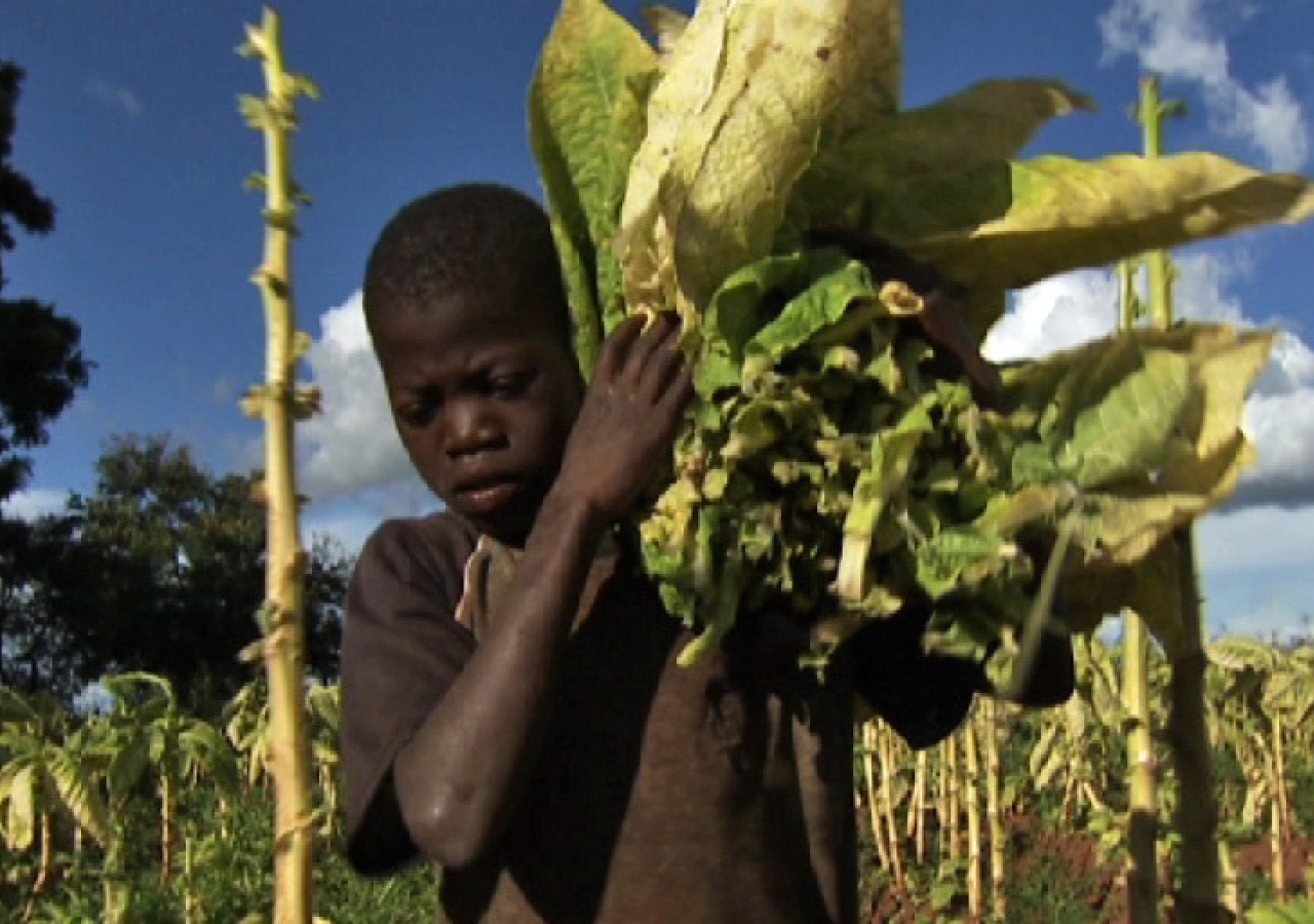 A young boy labours away on a tobacco farm in Malawi. Child workers often develop illnesses after breathing toxins in unhealthy work conditions.
