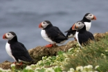 Puffins breed in large colonies on coastal cliffs and islands. Together with other seabirds, they are threatened by habitat destruction due to climate change and pollution.